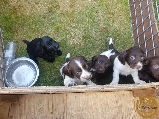 cocker pups for sale