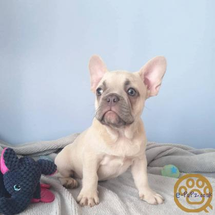 Don Frost French bulldog puppies