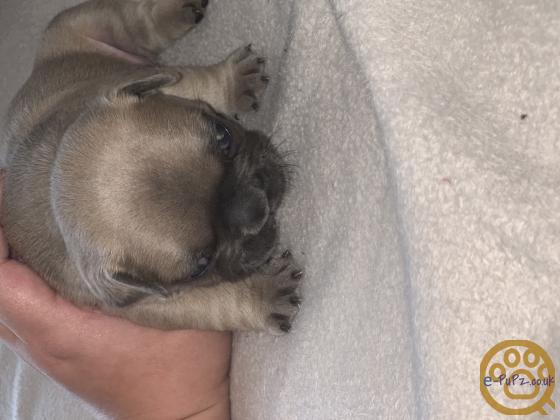 French Bulldog puppies, Amazing quality, Top Bloodlines!