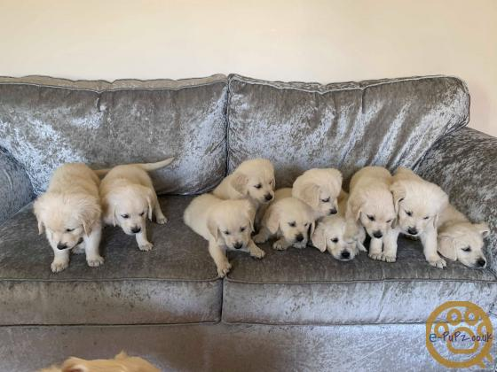 Golden Retriever pupps ready for forever home!