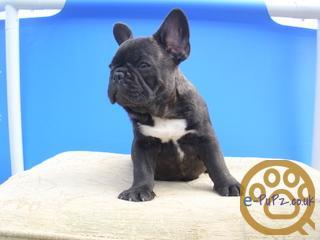 Gorgeous french bulldog puppies