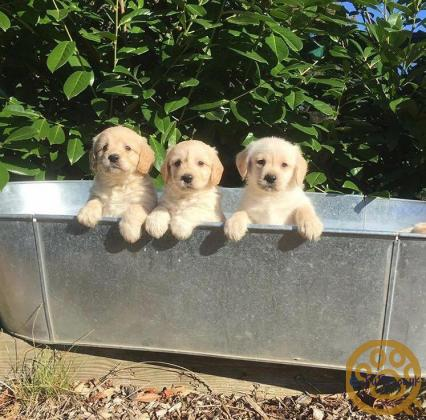 Labradoodle puppies