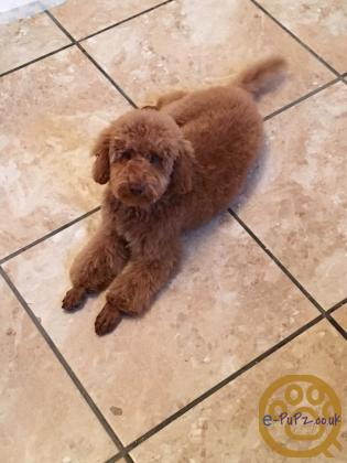 Stunning Cockapoo puppies PRA/PRAC/BKA/KC/ISDS/FN clear
