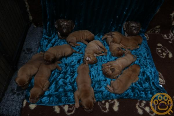 Stunning kc ddb puppies for sale