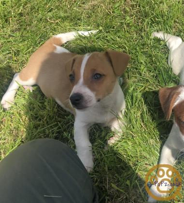 Miniature Jack Russel Puppies