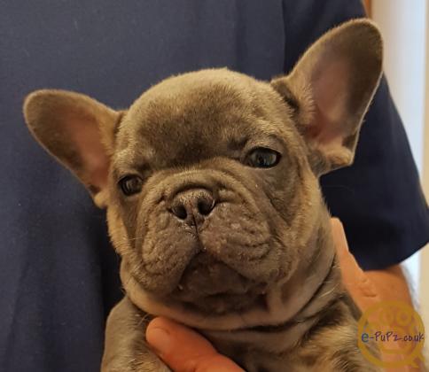 French Bulldog Puppies...