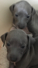 3/4 Italian Greyhounds