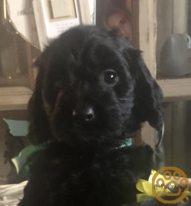 Beautiful black Cockapoo puppies xxxx