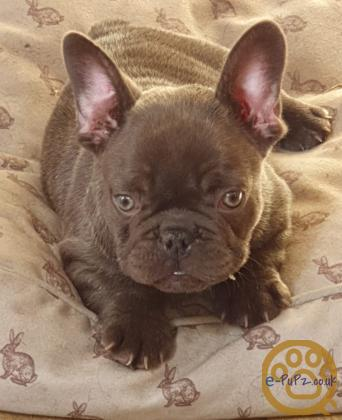 KC Registered French Bulldogs puppies