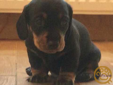 KC Registered Mini Dachshund Pups Black and Tan Smooth Haired Pups