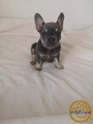 KC registered Lilac french bulldog