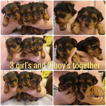 Miniature Biewer Yorkshire Terrier Puppies
