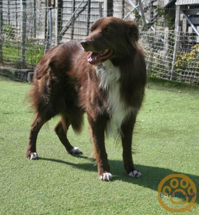 TWO PROVEN BORDER COLLIES  AT STUD