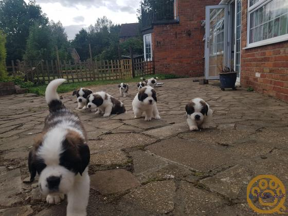 Beautiful Champion Saint Bernard Puppies!