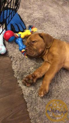 Dogue de Bordeaux puppy for sale