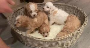 CAVAPOO PUP BOTH PARENTS EXTENSIVELY HEALTH TESTED