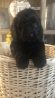 Beautiful black Cockapoo puppies xxxx