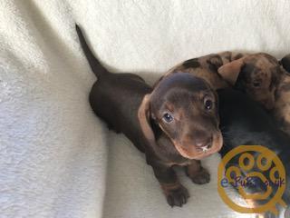 Adorable miniature Daschund puppies.