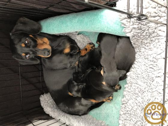 K c registered miniature dachshund puppies