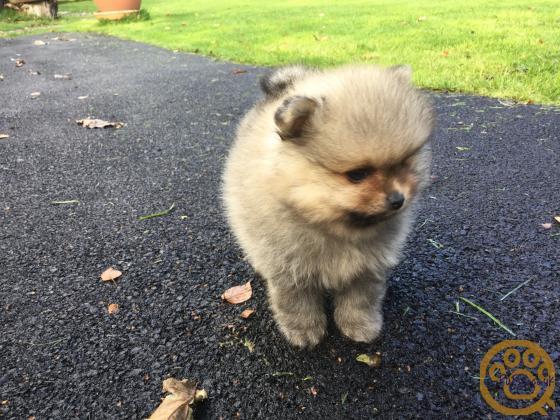 KC reg Pomeranian Boy for sale