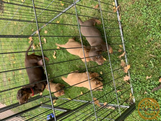Miniature dachshund puppies boys and girls