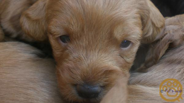 stunning f1 minature labradoodle puppies for sale.