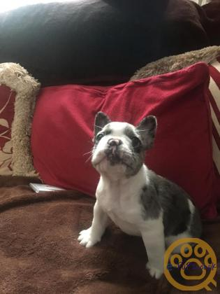 STUNNING MALE BLUE PIED FRENCH BULLDOG PUP - SWANSEA
