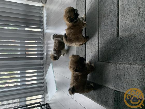 3 beautiful Shih Tzu girls