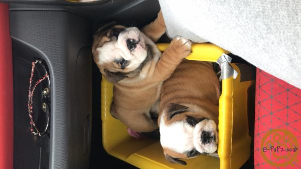 British English bulldog top class kc reg puppies