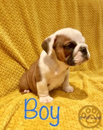 Kc bulldog pups READY NOW