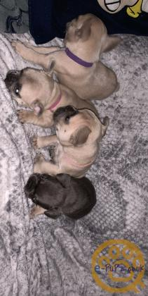 Stunning French bulldog puppies (checkmate line)