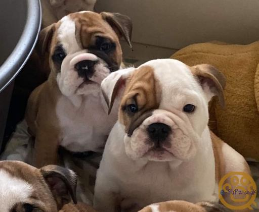 Quality Bulldog Puppies out of health tested parents & Huu Clear