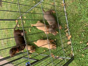 Miniature dachshund puppies boys and girls