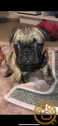 French bulldogs puppy 10 weeks old girl