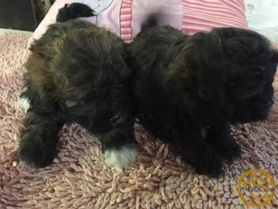 CUTE AND CUDDLY LOW SHEDDING TOY POODLE X SHIHTZU PUPPIES