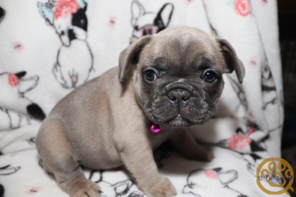 French Bulldog Female Puppy