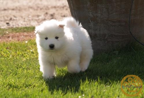 friendly, loving and energetic Samoyed puppies have nice face and a great personality.