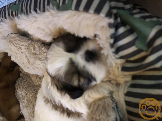 Gorgeous boy shitzu pups