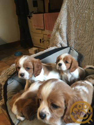 K/C Registered Cavalier King Charles Spaniel Pups