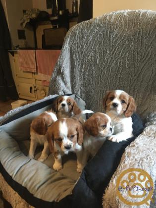 K/C Registered Cavalier King Charles Spaniel Pups