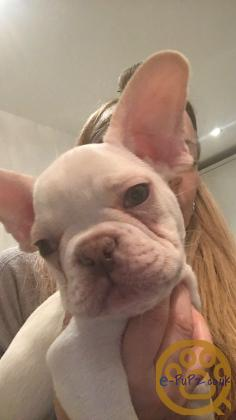 KC registered French Bulldog puppies (Ready Now)