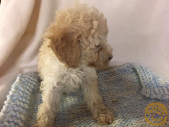 LOW SHEDDING THREE QUARTER  POODLE PUPPIES - TOMOS, TEDDY AND ANGEL -  FULLY VACCINATED