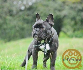Male French Bull Dog