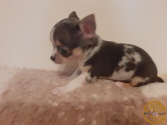 Stunning little Chihuahua Pups