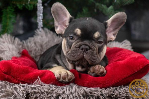 Lilac and choc french bulldogs
