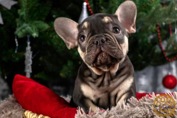 Reduced..Lilac and choc french bulldogs