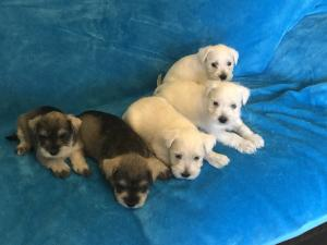 MINIATURE SCHNAUZER PUPS FOR SALE  - MUST SEE !!