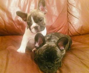 Stunning French Bull Dog Puppies