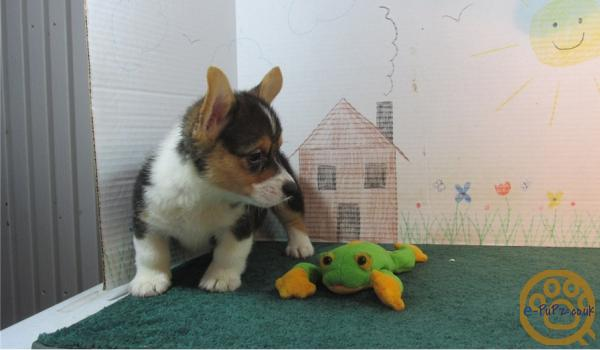 friendly, loving and energetic Pembroke Welsh Corgi puppies