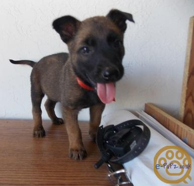 friendly, loving and energetic Belgian Malinois puppies have nice face